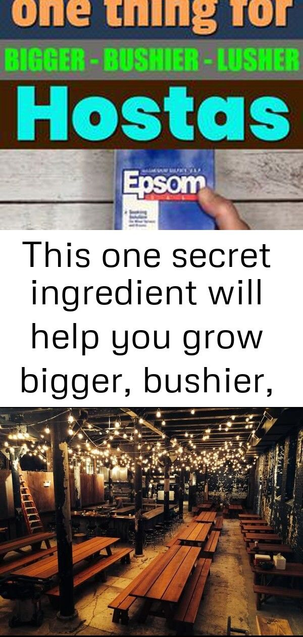 This one secret ingredient will help you grow bigger bushier and lusher hostas 3 Learn how to make hostas grow bigger bushier and lusher by using Epsom salt in this artic...