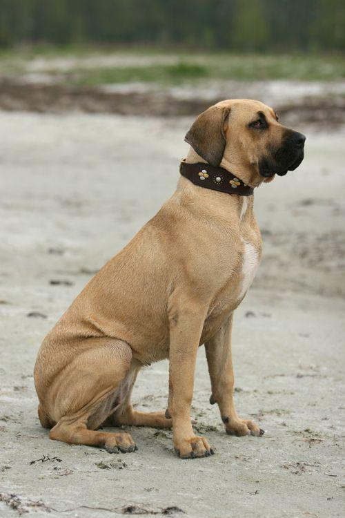 Mastiff Breeds Puppies