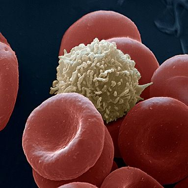 White blood cells electron microscope