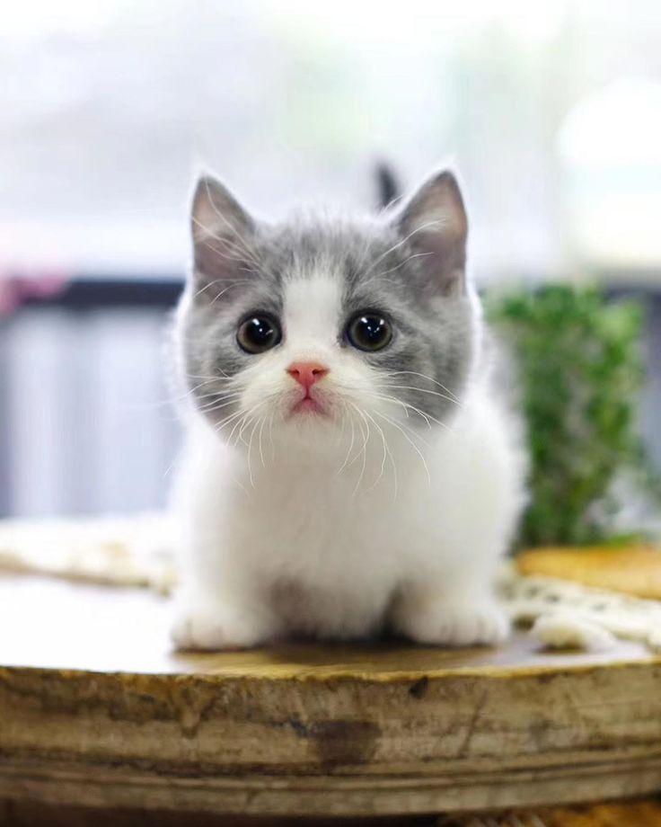 Hottest Photos Ragdoll Cats munchkin Ideas