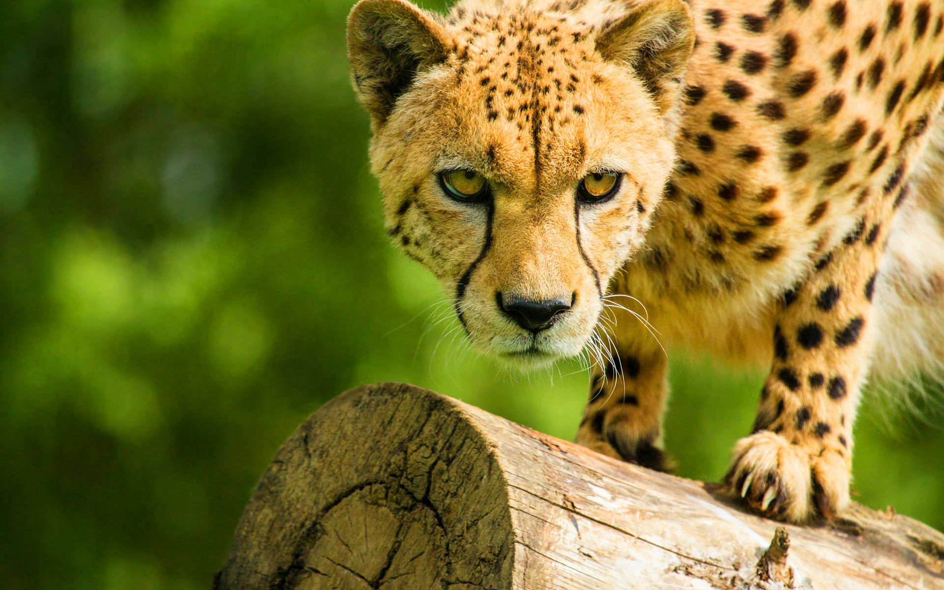 Cheetah HD wallpaper for download