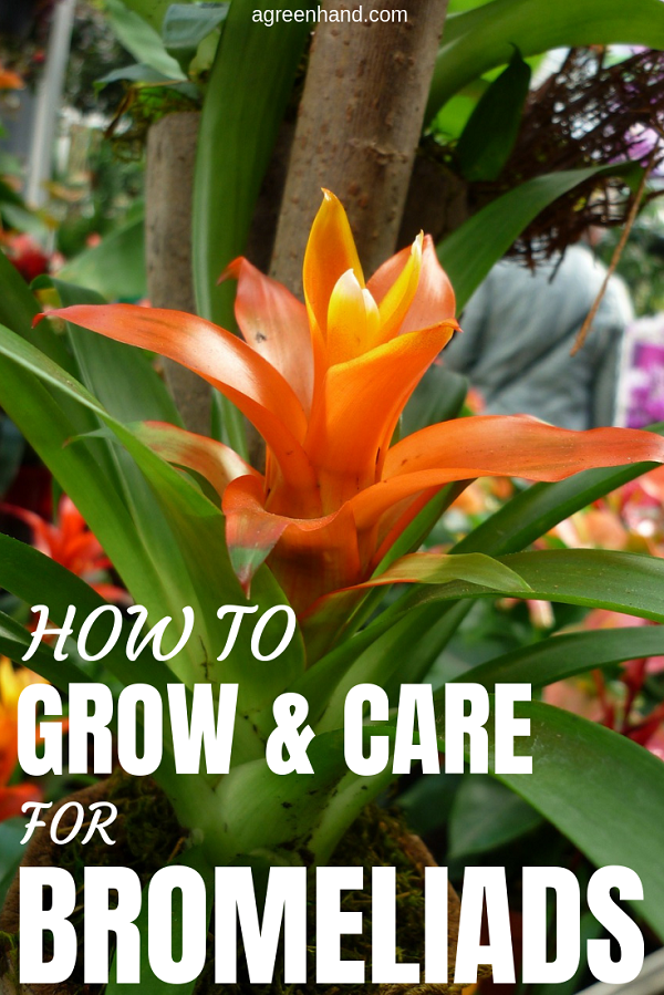 Bromeliad Plant How To Grow And Care For Bromeliads Bromeliads Plants House Plants Indoor