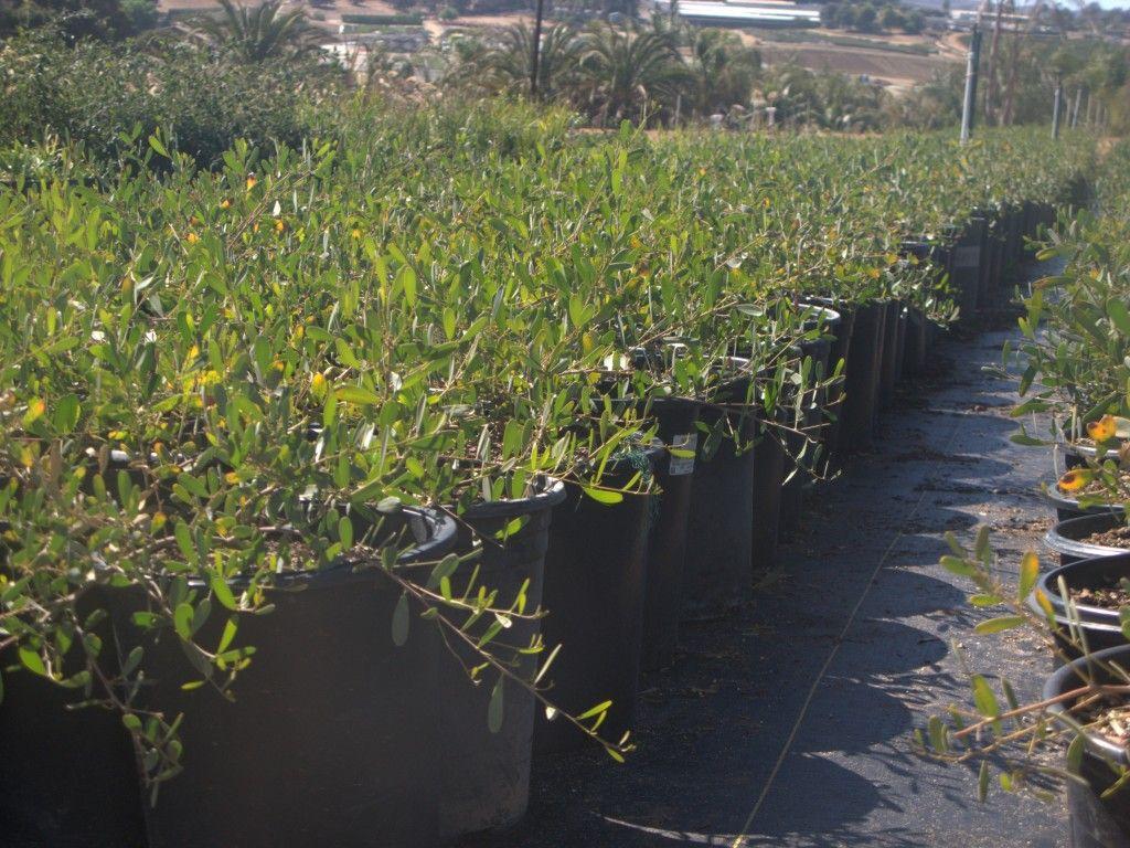Acacia Redolens Desert Carpet Plants Acacia Plants Garden