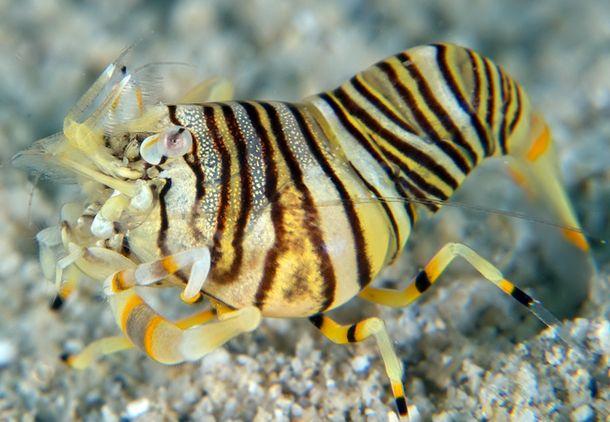 Gnathophyllum Americanum Bumblebee Shrimp Salt Water Crustaceans Marine Fish Prawn Shrimp