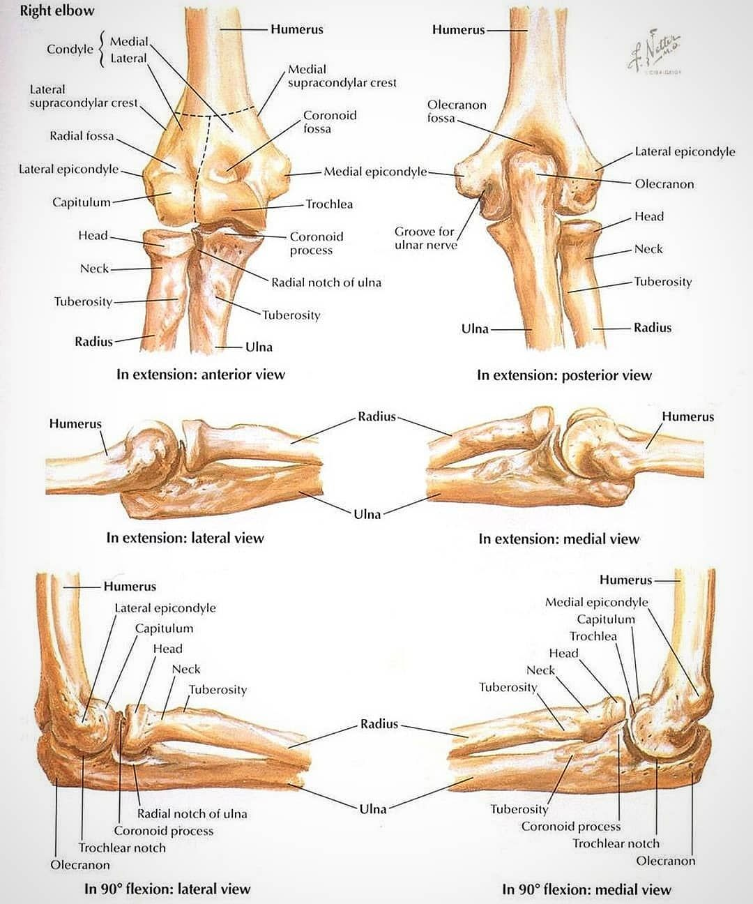 Elbow Anatomy The Elbow Joint Is A Hinge That Allows Extension And Flexion And Pronation And Supination Of T In 2020 Anatomy Bones Elbow Anatomy Skeleton Anatomy