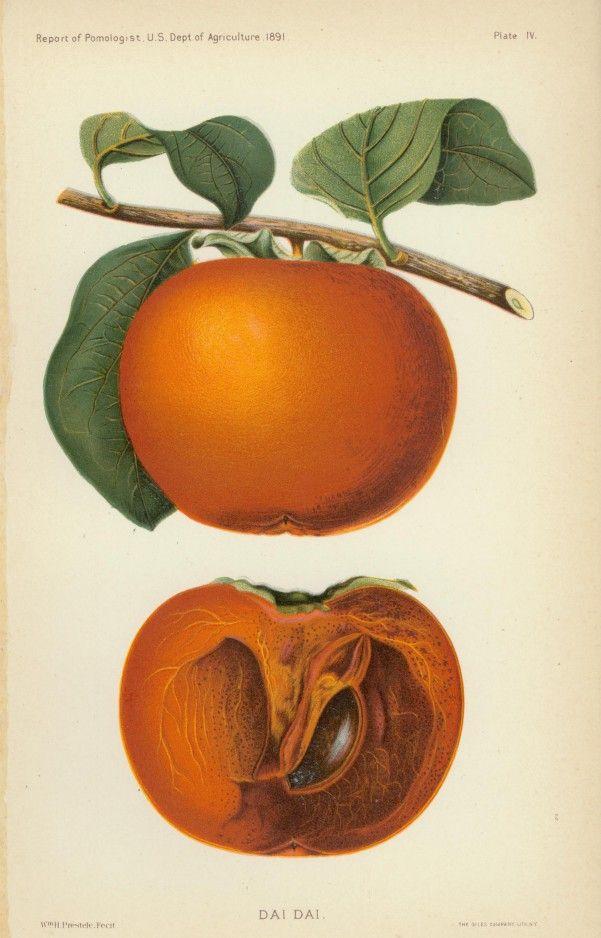 William Henry Prestele (1838-1895), Dai Dai, 1887-1892; 9 x 5 1/2 inches, chromolithograph; Gift of Louise Simon Schoene