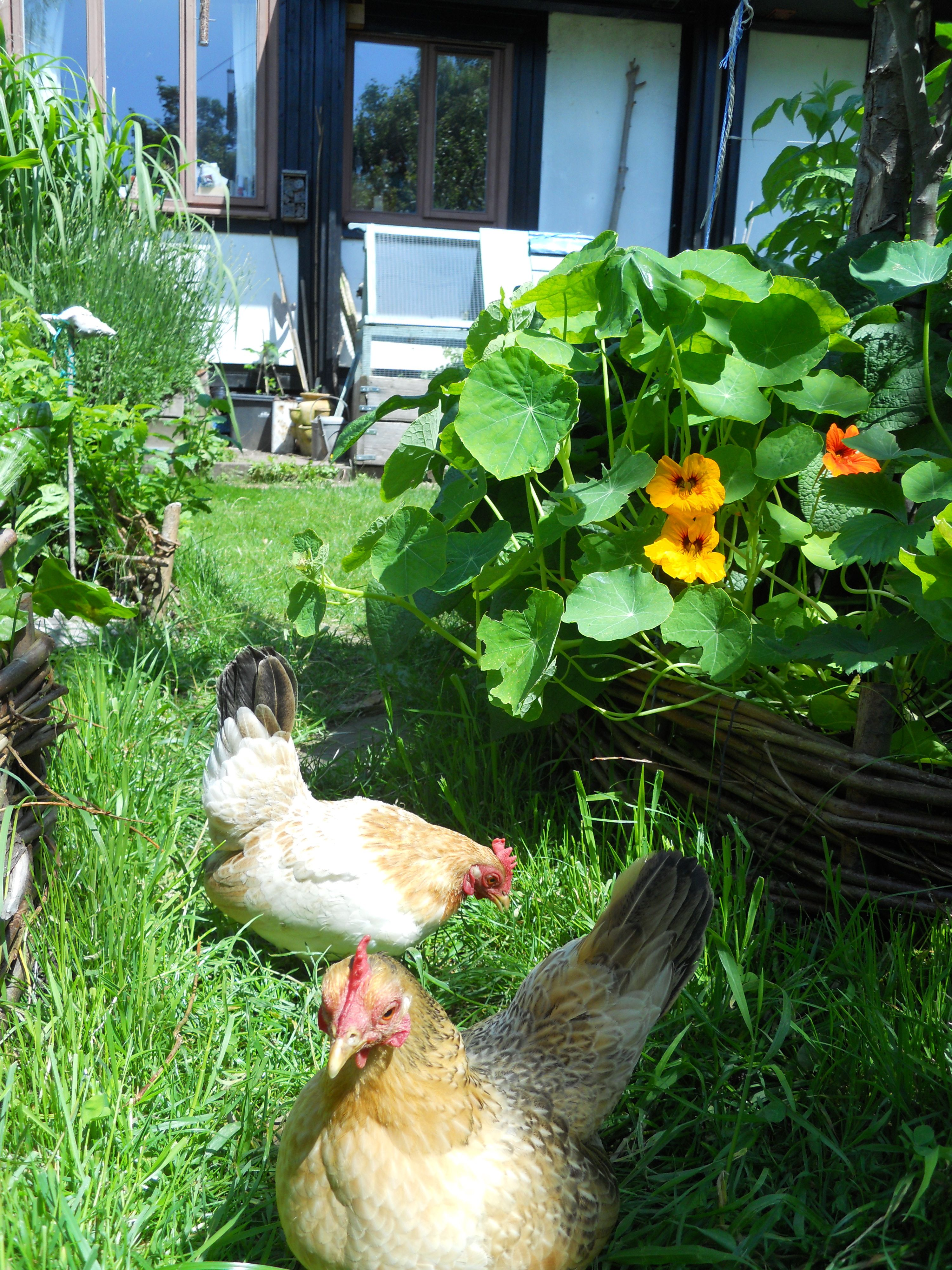 Our Bantam hens, Brenda and Daphne free-ranging in our