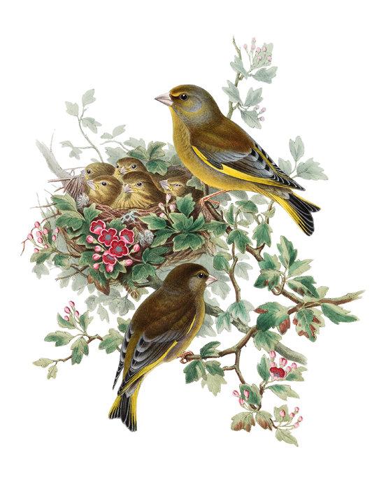 Greenfinch Birds Print Vintage Illustration Bird Nest