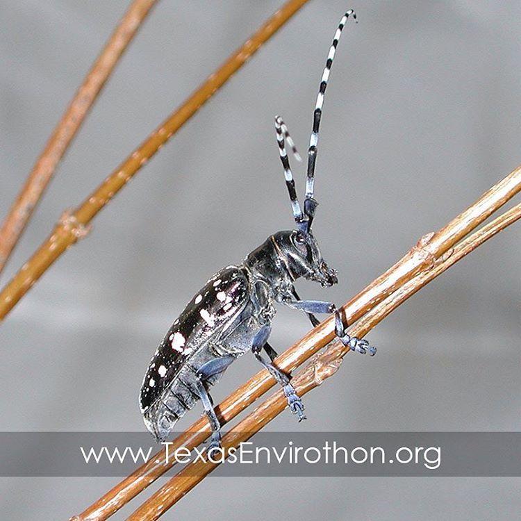 Asian longhorn beetles natural predators