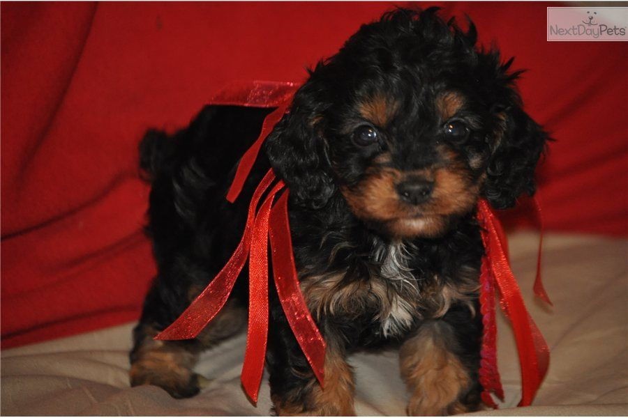 Cavapoo Meet Celab A Cute Cavapoo Puppy For Sale For 750 Celab