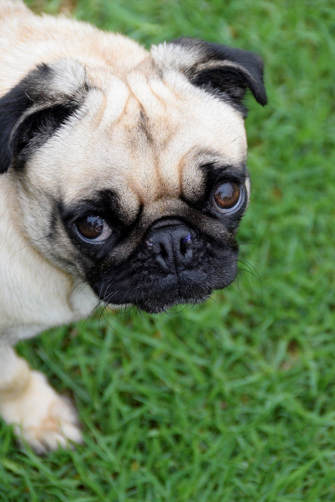 Pipper Pug Pugs Dogs Puppies Cute Animals