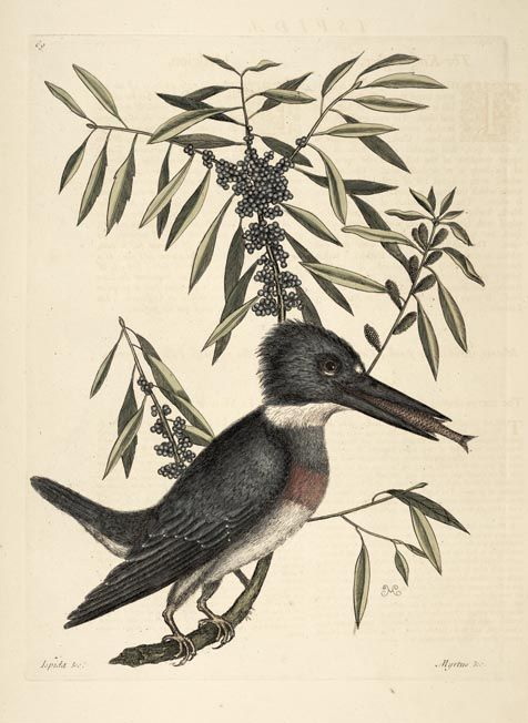 Mark Catesby - Belted Kingfisher