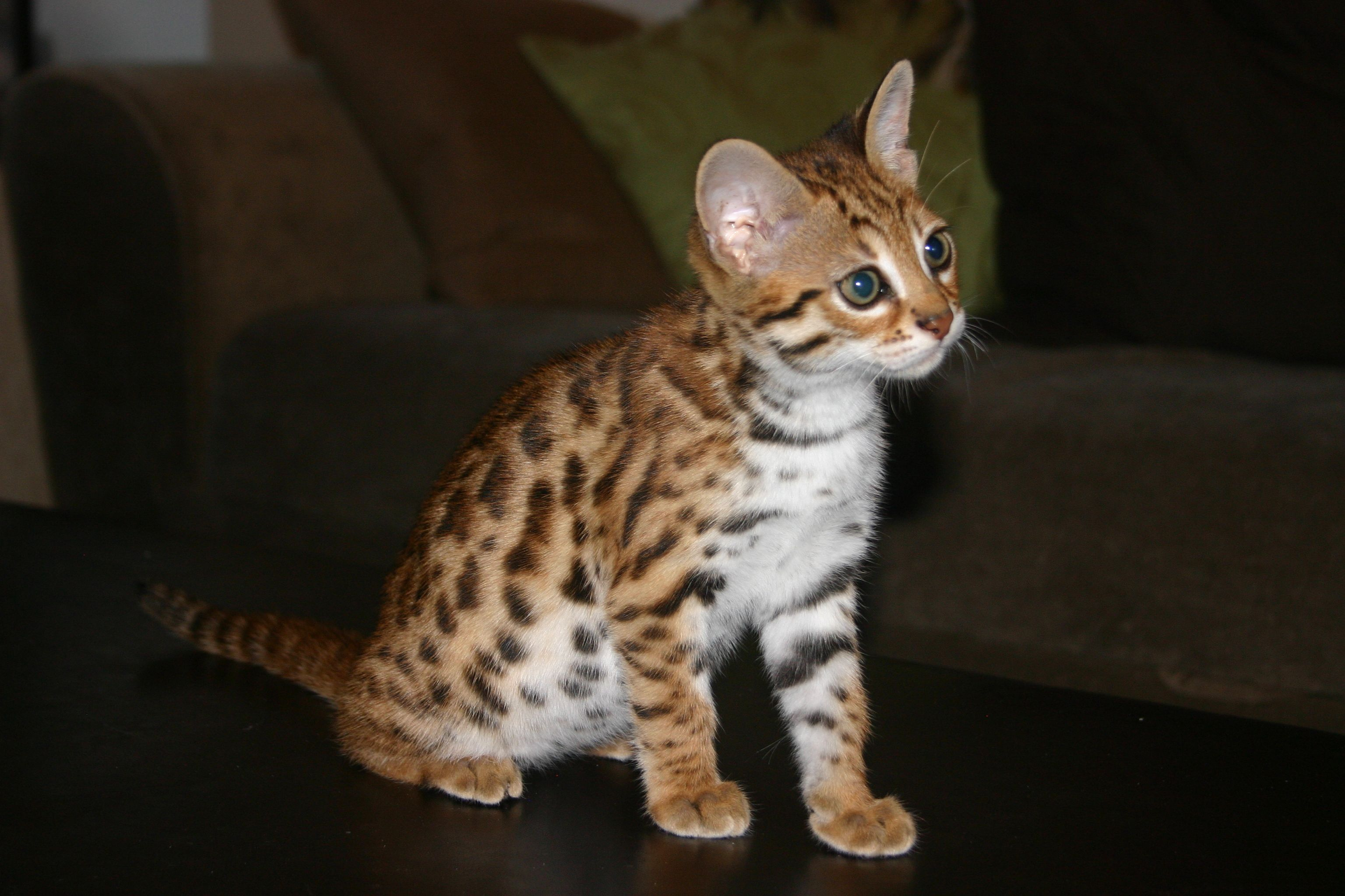 This is Sicily an F1 Bengal first generation from the Asian