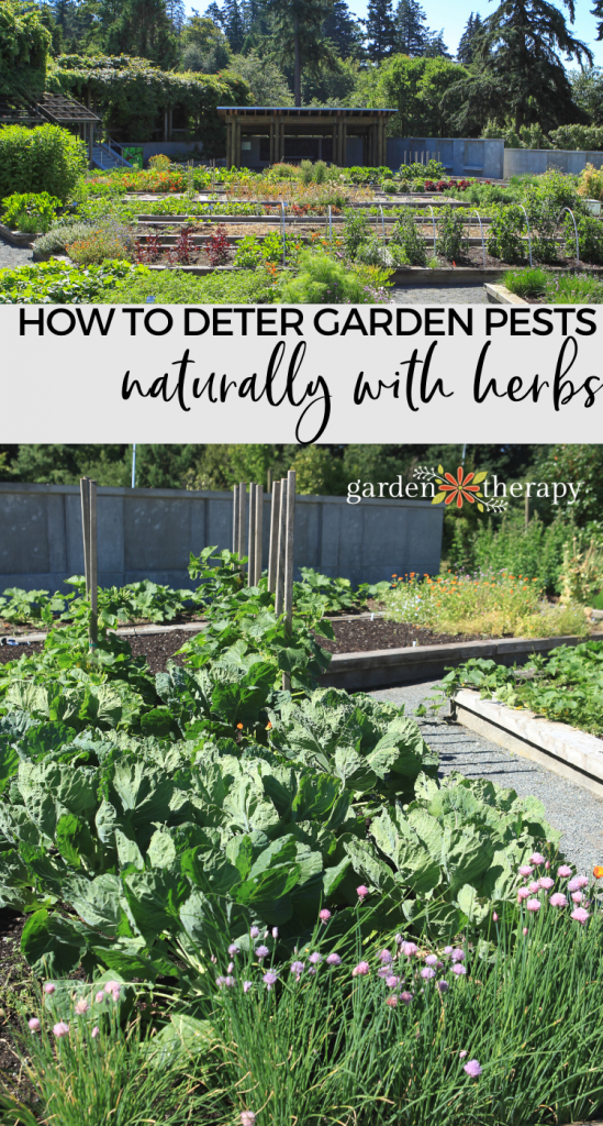 Here S How To Keep Your Garden Pest Free Naturally Companion Planting Is Effective Simple And Fun H Garden Pests Vegetable Garden Tips Growing Vegetables