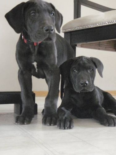Black Great Dane Puppies I See One Of These In My Future Too