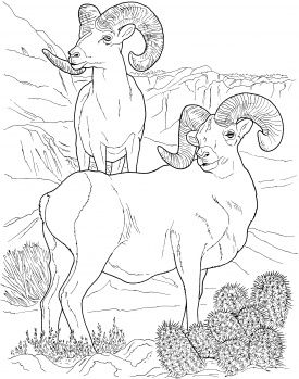 Image Detail For Desert Bighorn Sheep Coloring Page Super
