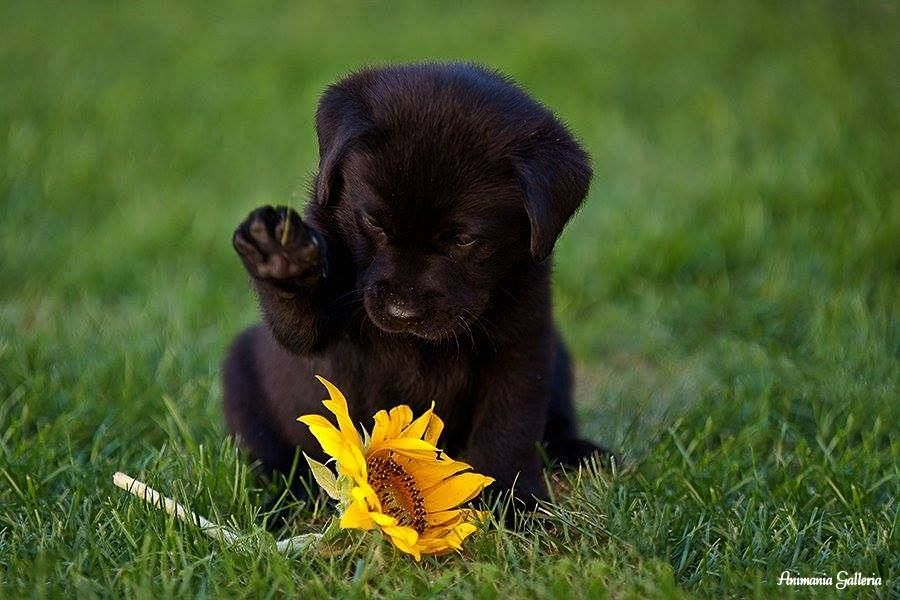 black lab pup with sunflower ♥ cute baby animals