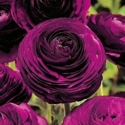 Purple Ranunculus Flowers Perennials Beautiful Flowers Garden Bulb Flowers