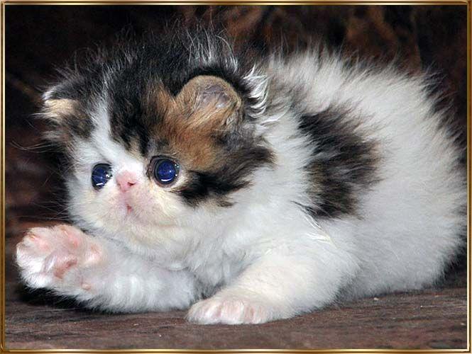 TOY TRICKSY персидские кошки persian cats   Persian cat