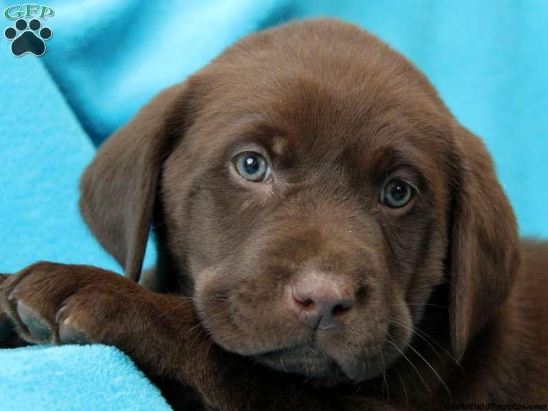 chocolate lab puppies | Labrador Retriever - Chocolate ...
