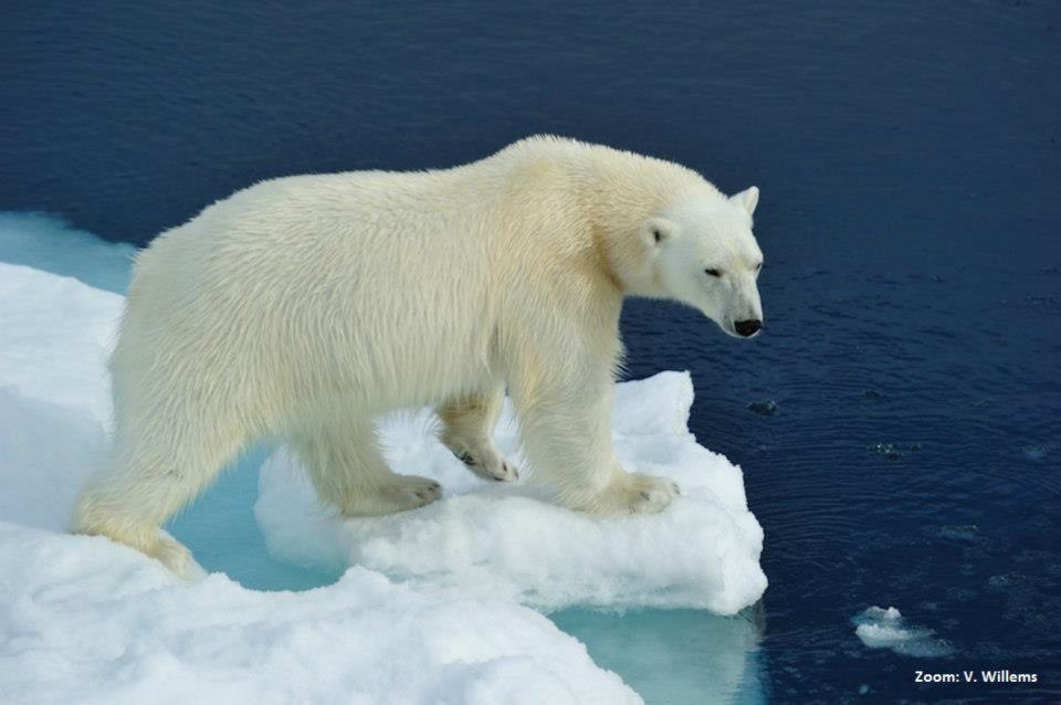 Ijsbeer en ijsschots | WNF-Zoom fotowedstrijd