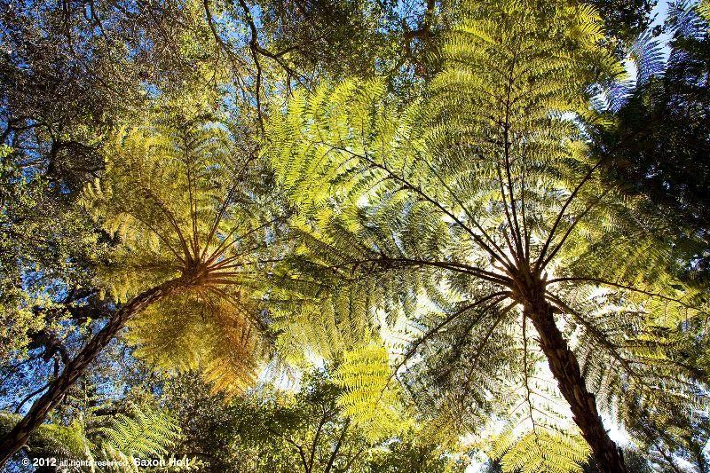 Tree Ferns Lotusland