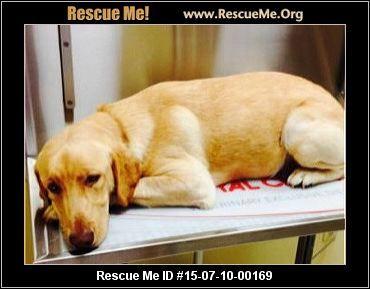 Lab Rescue New Hampshire Lab Rescue Rescue Lab Dogs