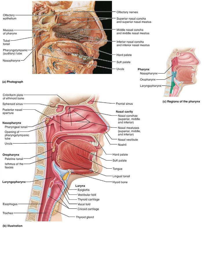 Upper Airway Ems Anatomy Physiology Pinterest Physiology