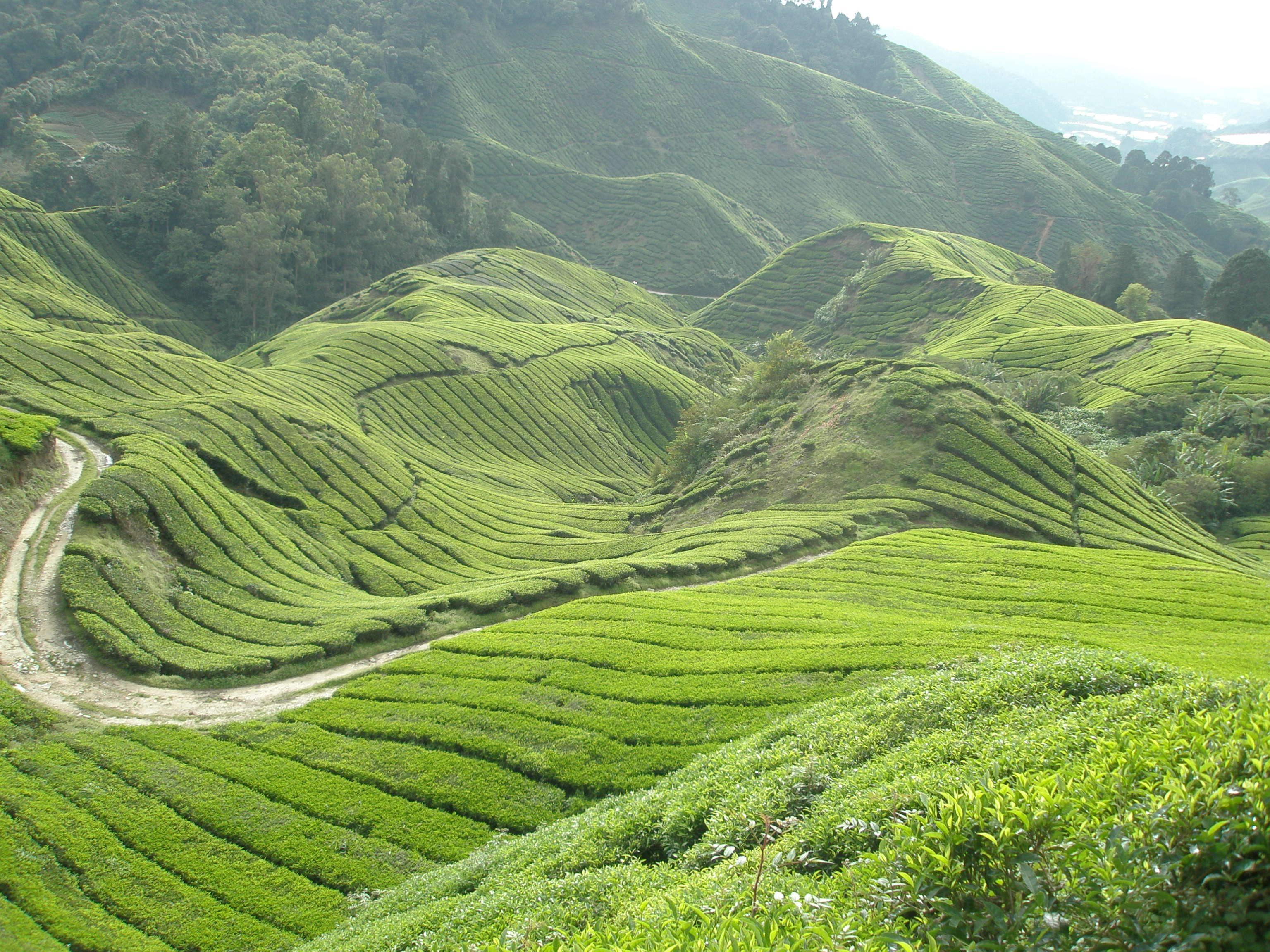 Где выращивают высокогорный чай нури   Чай, Картинки