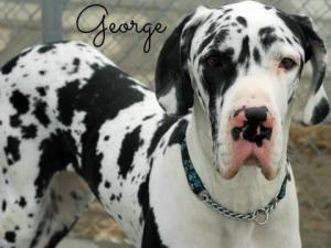 Adopt Cruiser George On Great Danes For Adoption Dane Dog
