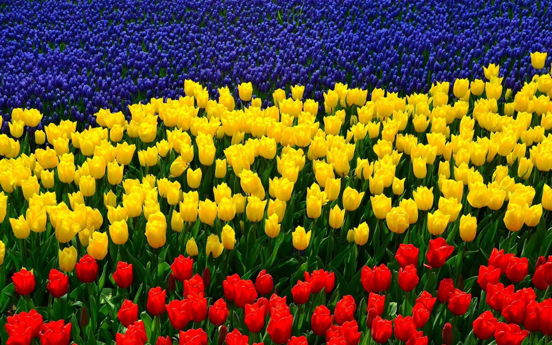 Image from http://bookmarks.mikis.it/wp-content/uploads/2014/10/tulipani-tricolori.jpg.