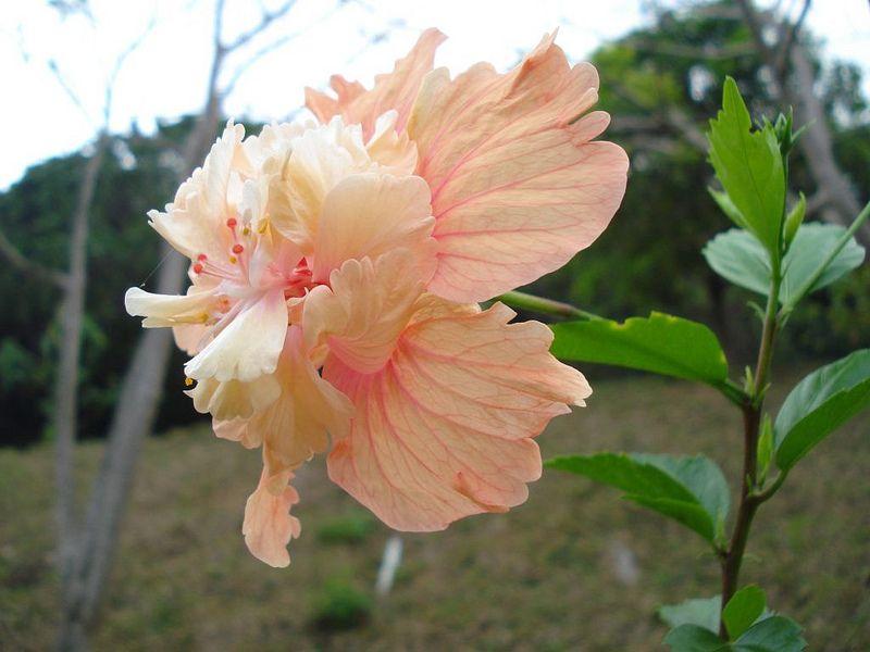 Orange El Capitolio Hibiscus Flower Double Layer Hibiscus Flower Hibiscus Hibiscus Flowers Flowers