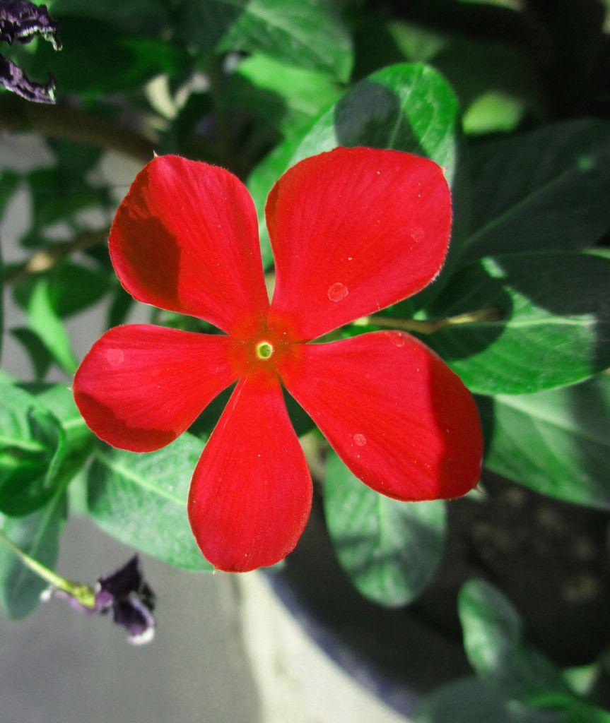 red color vinca | Elegant Floral Images | Pinterest | Flowers and ...