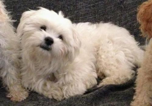 Adopt Yoyo On Poodle Mix Dogs Maltese Poodle Mix Maltese Poodle