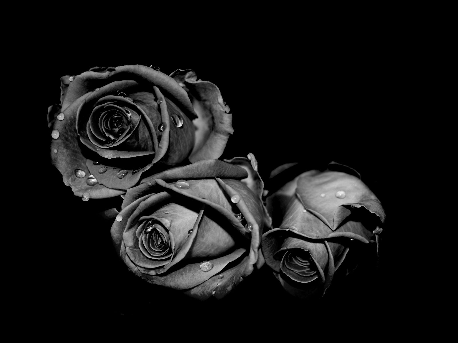 Roses Description Fading Black Still Beauitful Black And White