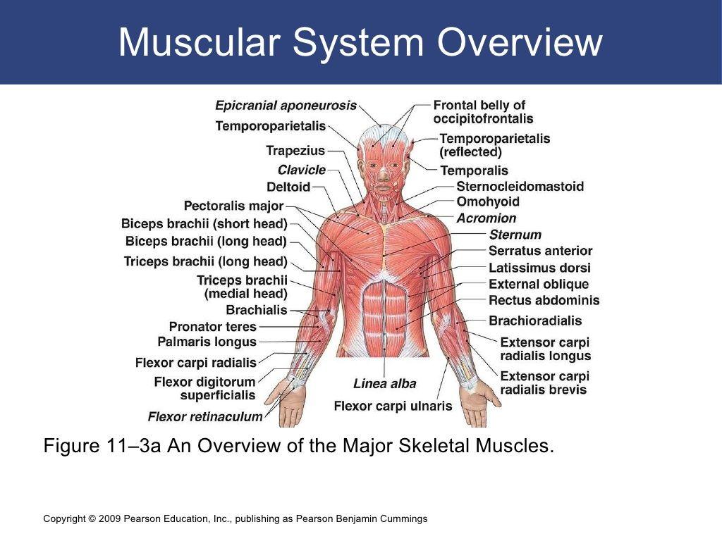Ausgezeichnet Skelettmuskel Systemdiagramm Fotos - Physiologie Von ...