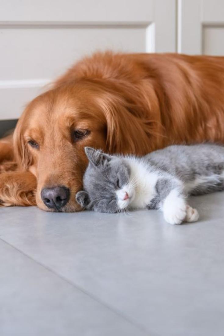 Golden Retriever And Kitten Goldenretriever In 2020 Golden Retriever Retriever Kittens