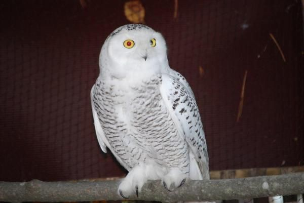 Michigan Bird Rescue To Auction Chance To Release A Snowy Owl Snowy Owl Owl Bird