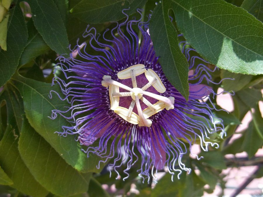 Passion Flower Flowers Passion Flower Color