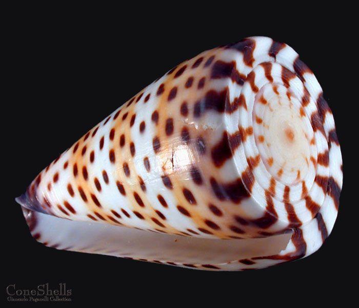 Conus Aristophanes Cone Shells ~ 34-1 ~ Craft Seashells Select 10 Shells