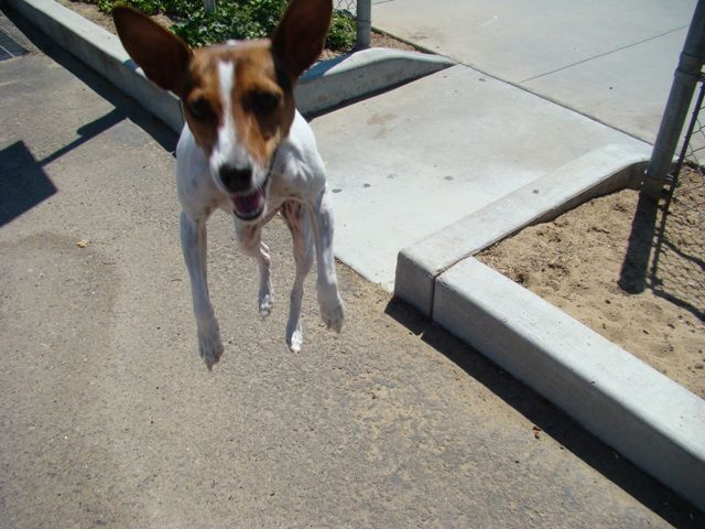 Bounce Me Dog Breeds Terrier Jack Russell Terrier