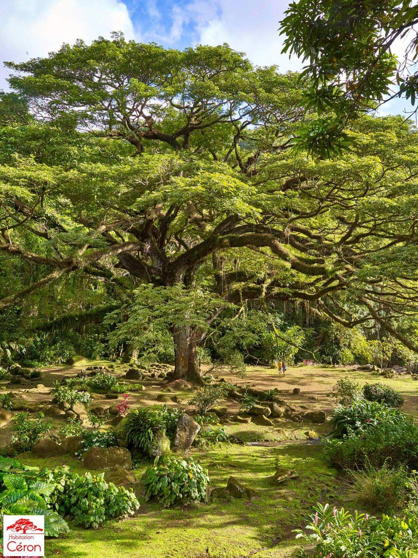 Zamana tree . Habitation Ceron. Prêcheur