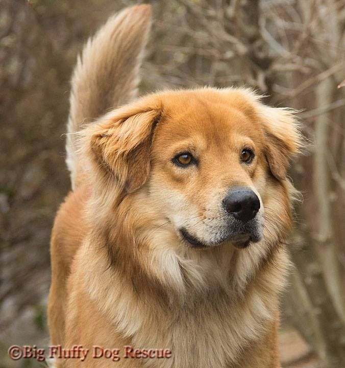 Pure Sable Goberian Golden Retriever Siberian Husky Mix
