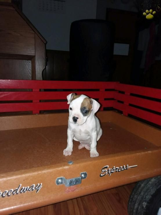 Angel Boxer Puppy for Sale in Fresno, OH Lancaster