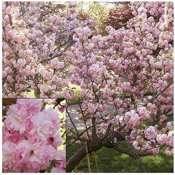 Royal Japanese Cherry Tree For Sale Buy Garden Plants Online Flowering Cherry Tree Japanese Cherry Tree Flower Landscape