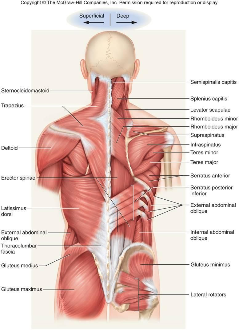 Levator Scapulae | Brent Brookbush | massage therapy | Pinterest ...