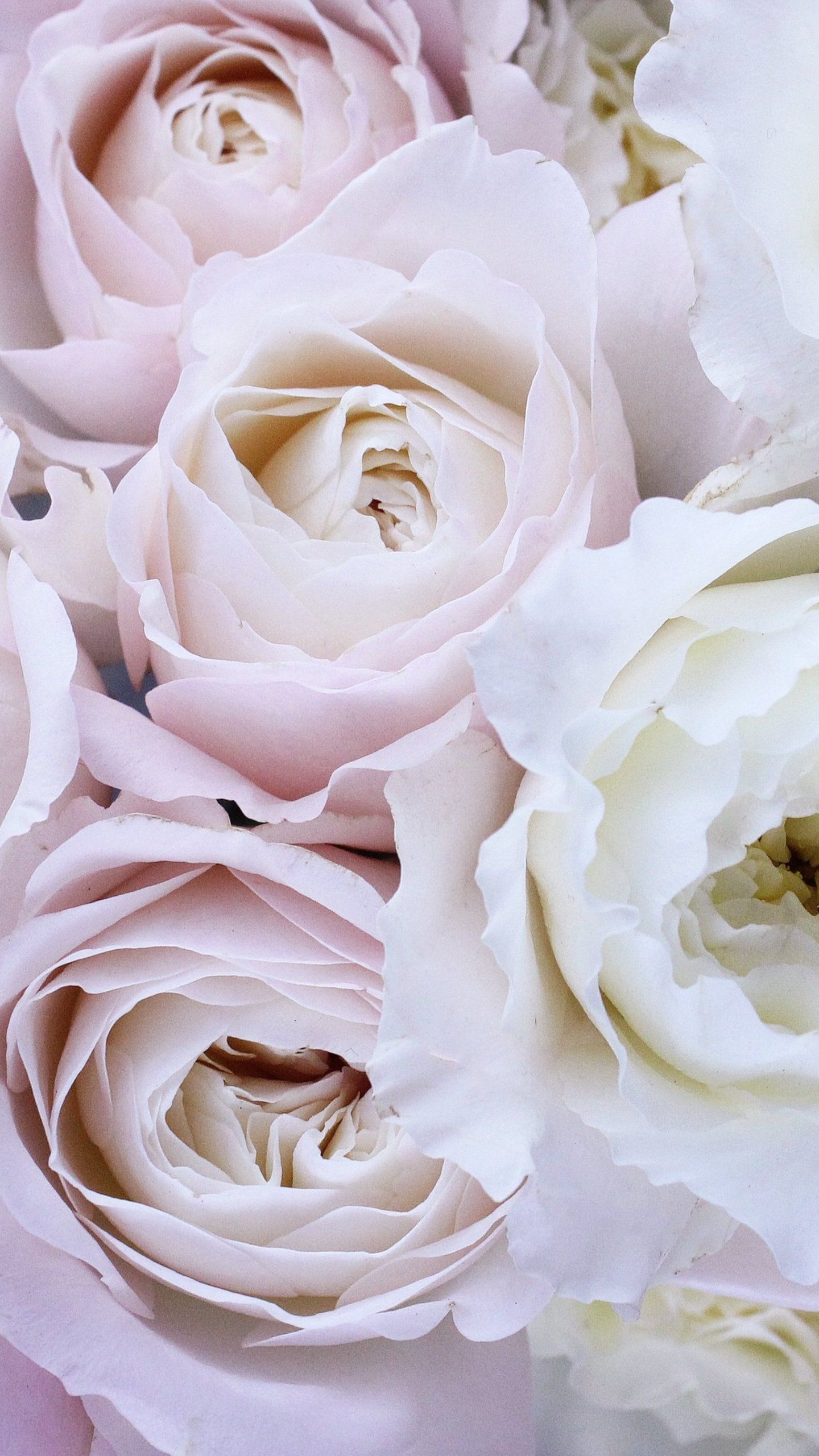 Pale Pink And White Roses Wallpaper Iphone Android Desktop Backgrounds Rose Wallpaper White Roses Wallpaper Flower Wallpaper