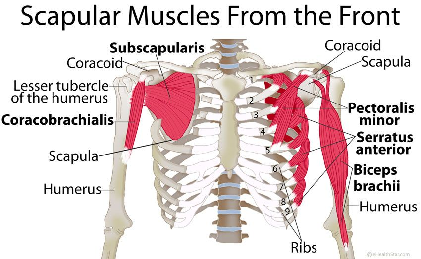 Scapula Shoulder Blade Anatomy Muscles Location Manual Guide