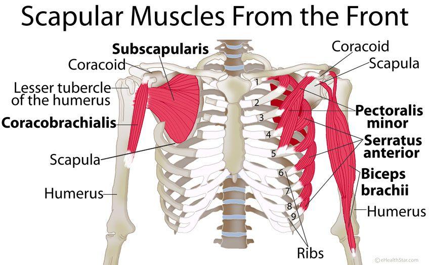 Shoulder Blade Scapular Muscles Origin Insertion Manual Guide