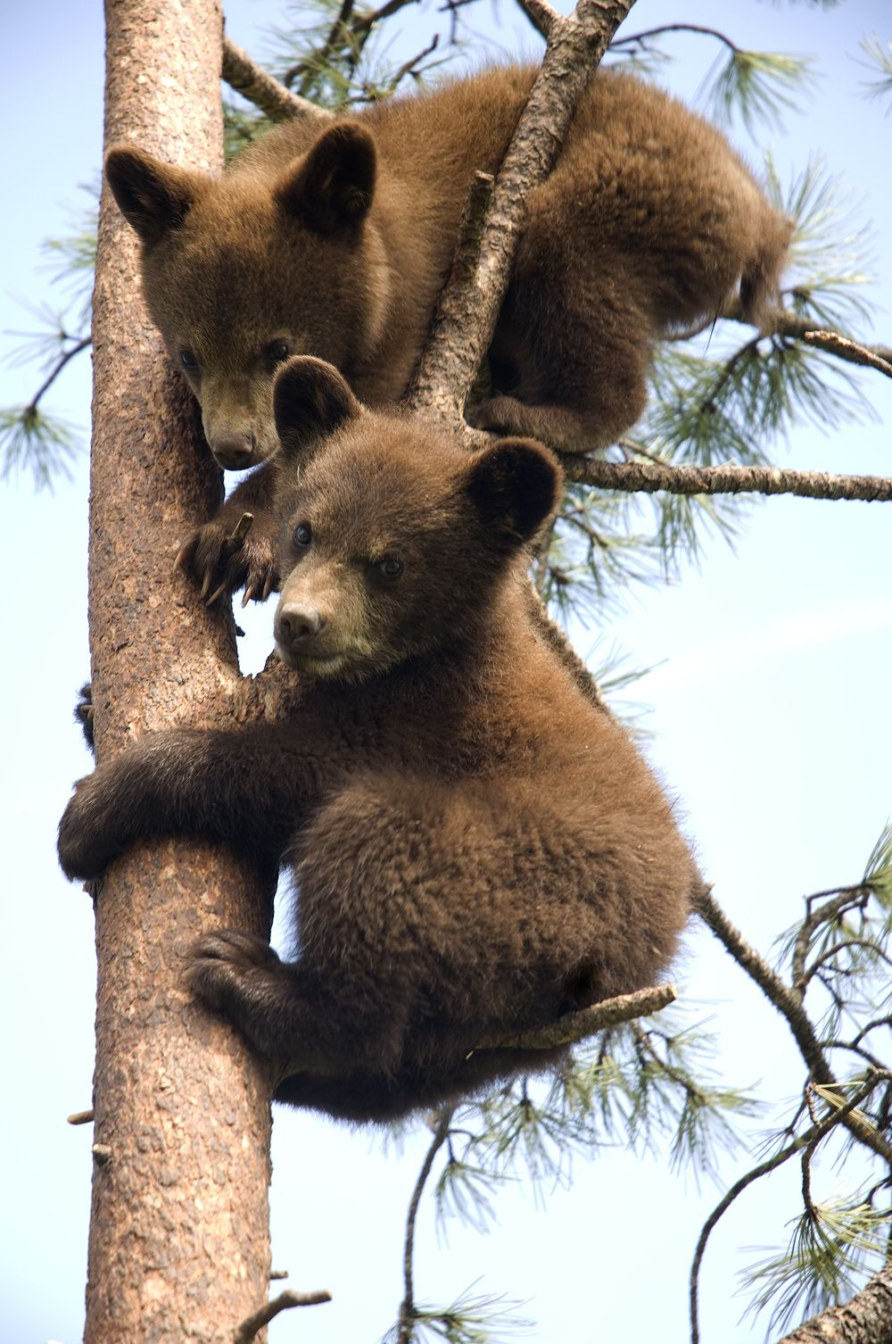 See these adorable #bear cubs and other wildlife at Bear Country USA - 9 miles from #RapidCity #SouthDakota